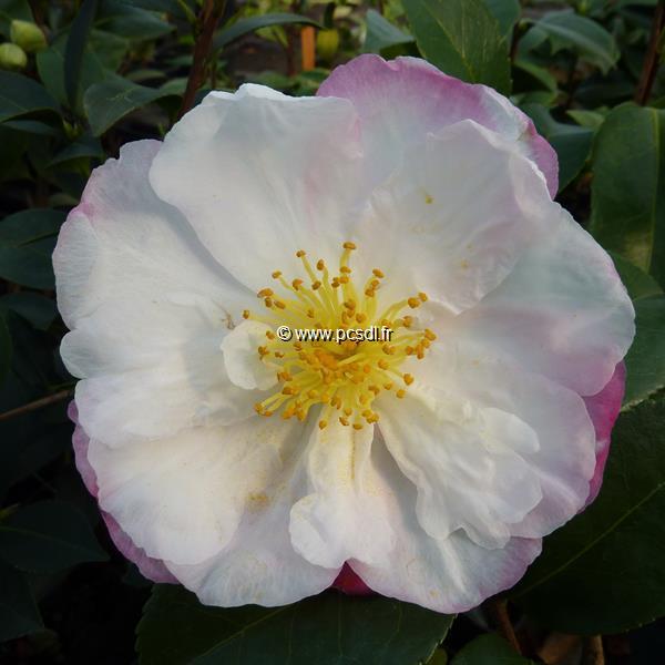 Camellia sasanqua \'Vanessa\'
