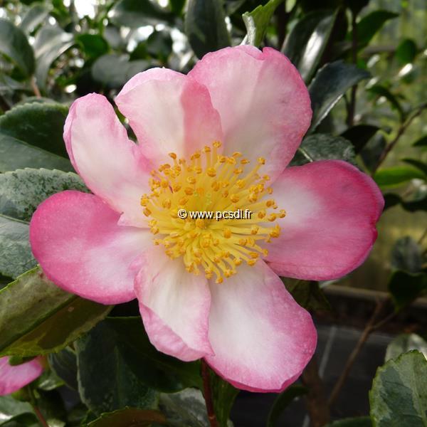 Camellia sasanqua \'Variegata\' C7L 80/100