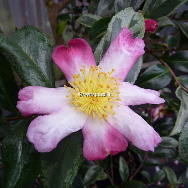 Camellia sasanqua \'Variegata\' 20/30 C3L