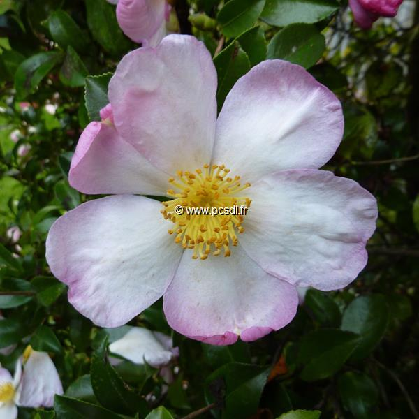 Camellia sasanqua \'Versicolor\'