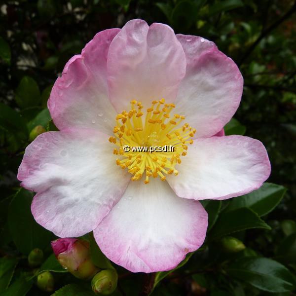 Camellia sasanqua \'Versicolor\' C20L 100/125