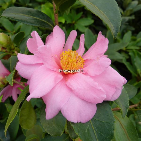 Camellia x sasanqua \'Winter\'s Joy\' C2L 10/20