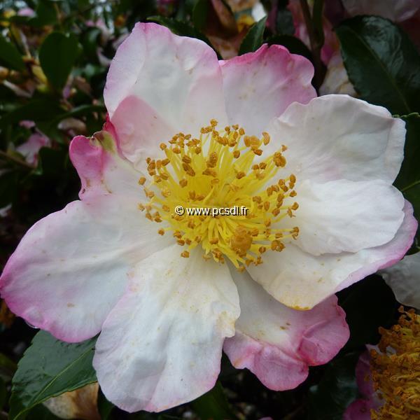 Camellia sasanqua \'Yae Arare\'