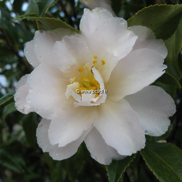 Camellia x vernalis \'Star Above Star\' C15L 100/125
