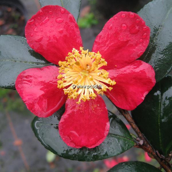 Camellia x vernalis \'Yuletide\' C20L 60/80