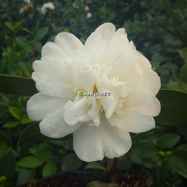 Camellia x sasanqua \'Snow Flurry\' 40/60 C7L