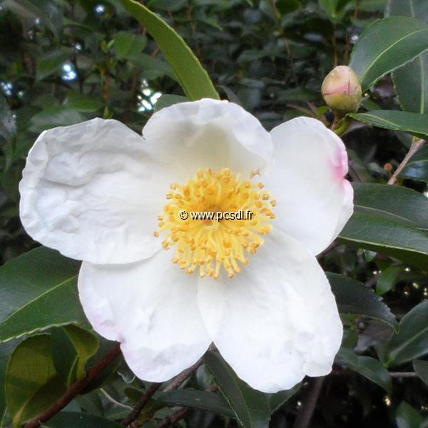 Camellia x sasanqua \'Survivor\'