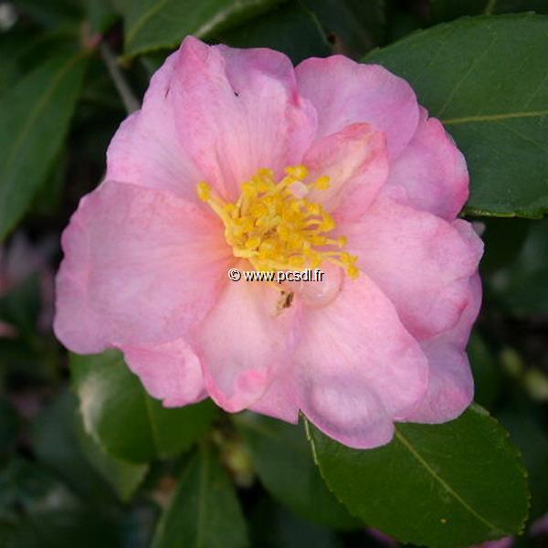 Camellia sasanqua var. hiemalis \'Winter\'s Interlude\'