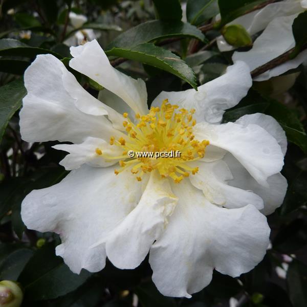Camellia sasanqua \'Kenkyo\' C5L 40/60