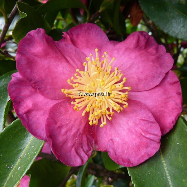 Camellia sasanqua \'Kishar\'