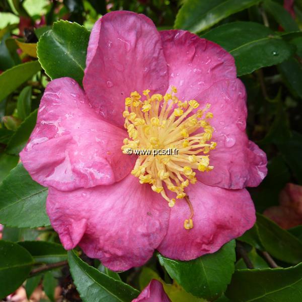 Camellia sasanqua \'Kishar\' C2L 20/30