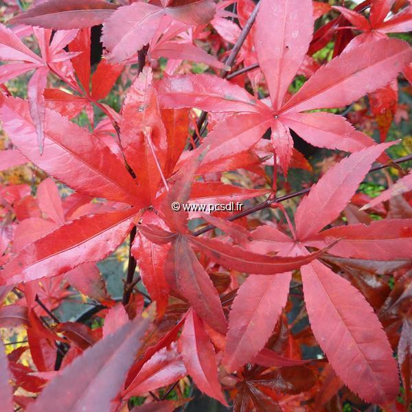 Acer palmatum \'Red Emperor\' C15L 125/150