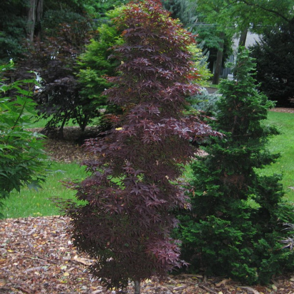 Acer palmatum \'Skeeter\'s Broom\' C15L 80/100
