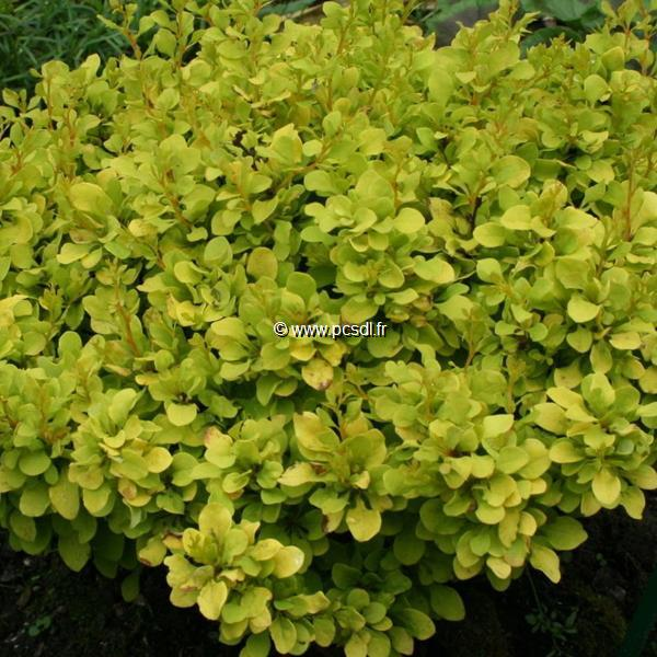 Berberis thunbergii \'Tiny Gold\' ® 10/20 C3L