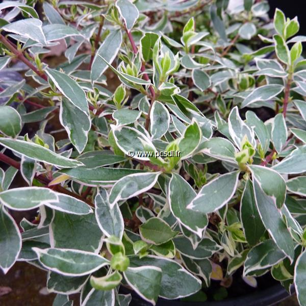 Abelia x grandiflora \'Lucky Lots\' ® C4L 30/40