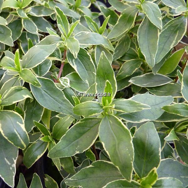 Abelia x grandiflora \'Prostrata Variegata\' C4L 30/40