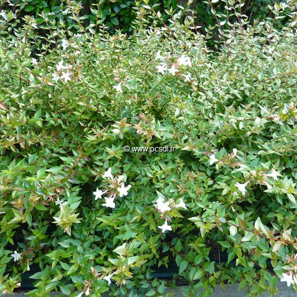 Abelia x grandiflora \'Prostrata\' 40/50 C4L