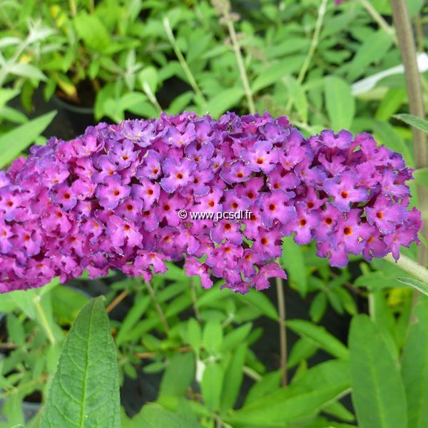 Buddleja davidii \'Royal Red\' 40/60 C4L
