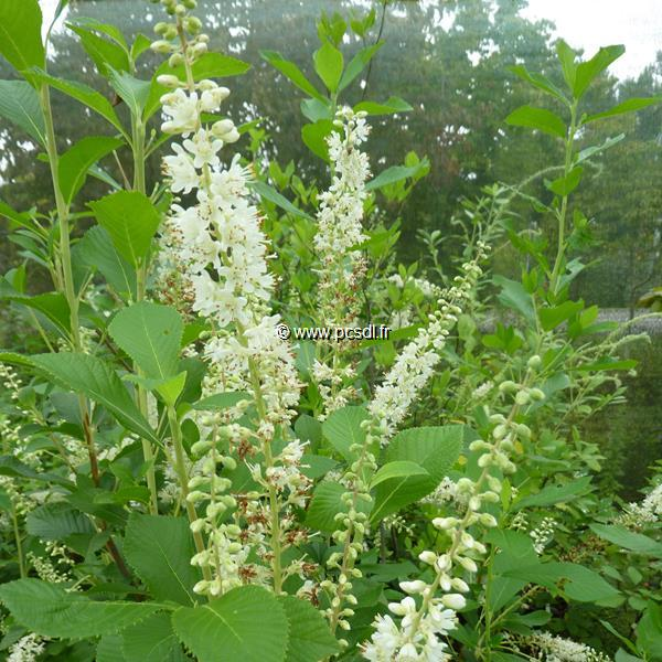 Clethra alnifolia September Beauty