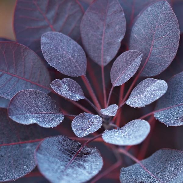 Cotinus coggygria \'Royal Purple\' C4L 40/50