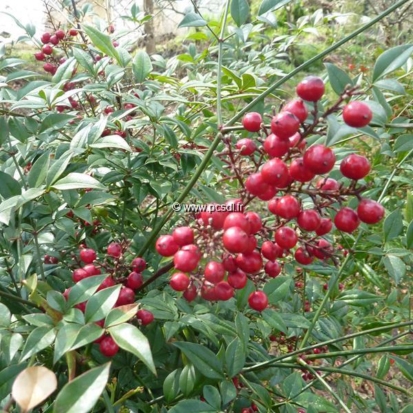 Nandina domestica \'Richmond\' C4L 40/60