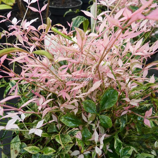 Nandina domestica \'Twilight\' ®