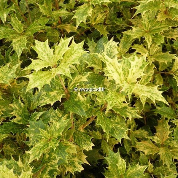 Osmanthus heterophyllus \'Goshiki\' 40/50 C4L
