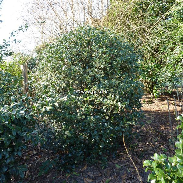 Osmanthus heterophyllus \'Gulftide\' 40/50 C4L
