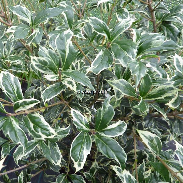 Osmanthus heterophyllus \'Kinbu\' C15L 60/80