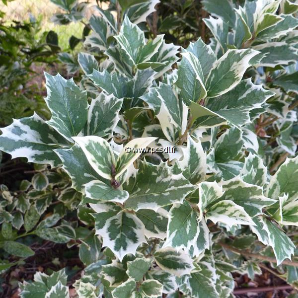 Osmanthus heterophyllus \'Latifolius Variegatus\' C10L 80/100