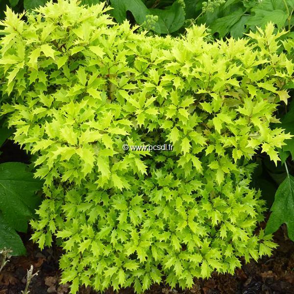 Osmanthus heterophyllus \'Ogon\' 30/40 C4L