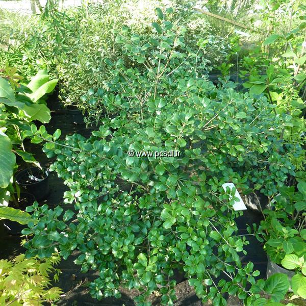 Osmanthus heterophyllus \'Rotundifolius\' C4L 20/30