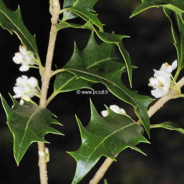 Osmanthus heterophyllus C4L 80/100