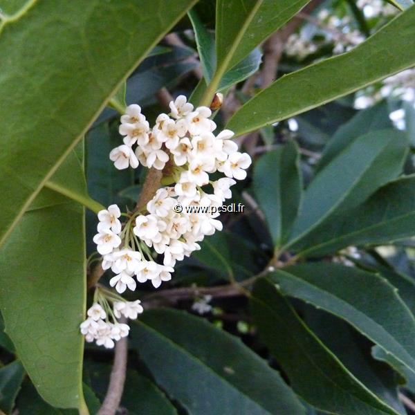 Osmanthus macrophyllus C4L 40/50