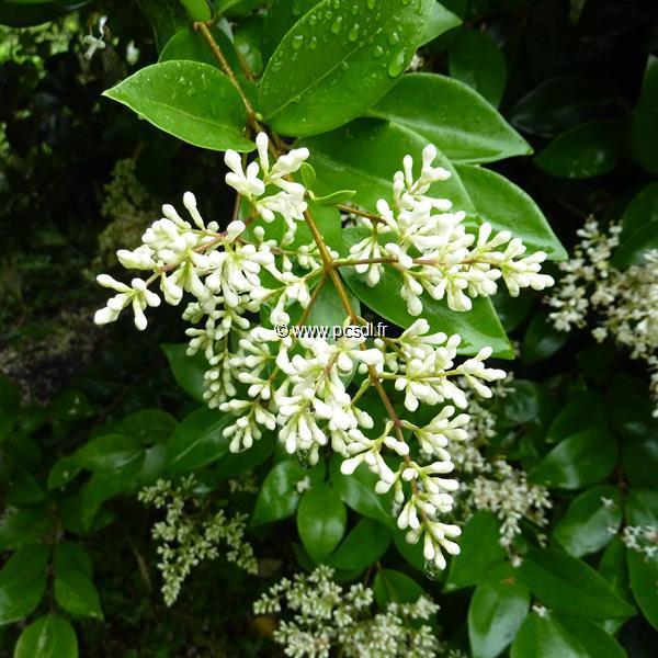 Ligustrum japonicum \'Texanum\' C4L 40/60