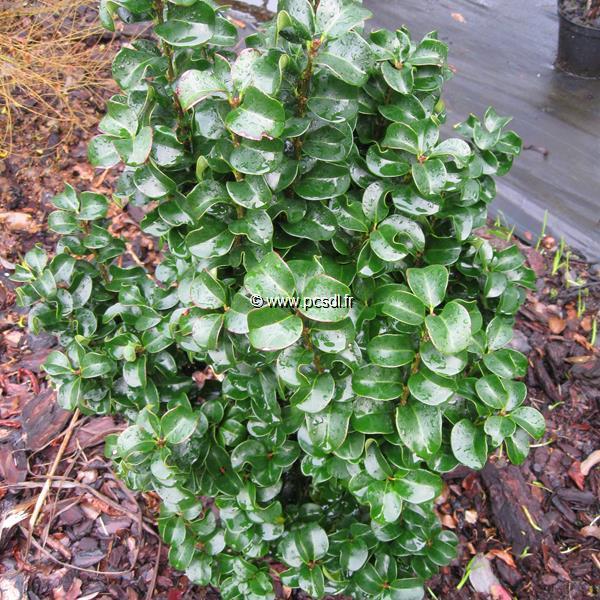 Ligustrum japonicum \'Rotundifolium\' C3/4L 40/50