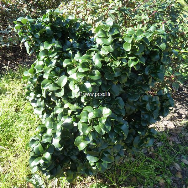 Ligustrum japonicum \'Rotundifolium\' C20L 80/100