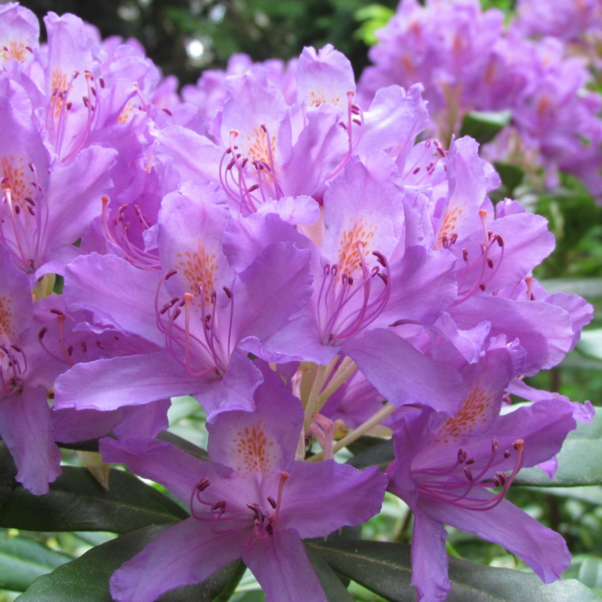 Rhododendron ponticum 50/70 C18L