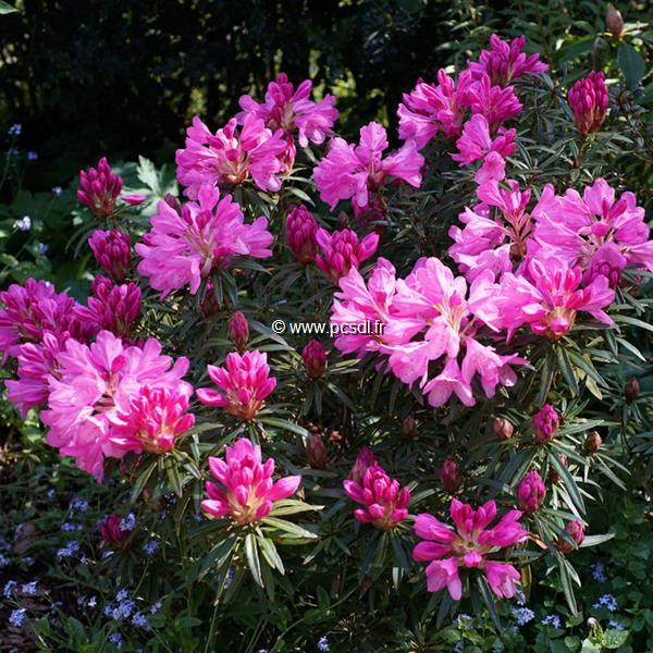 Rhododendron ponticum \'Graziella\' C5L 30/40