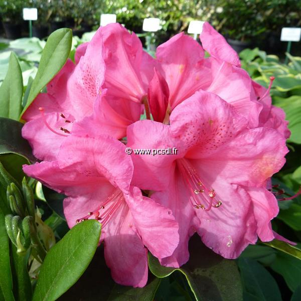 Rhododendron x \'Anna Rose Whitney\' C5L 40/50