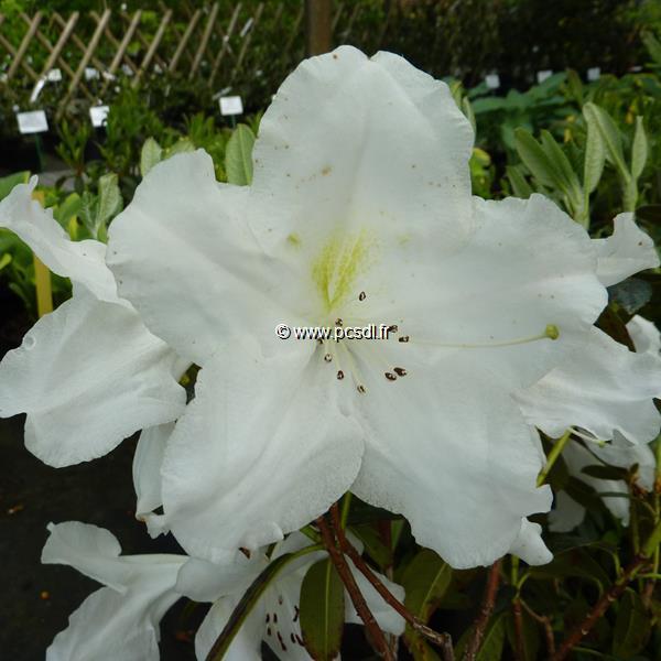 Rhododendron x \'Fragrantissimum\' 60/80 C5L