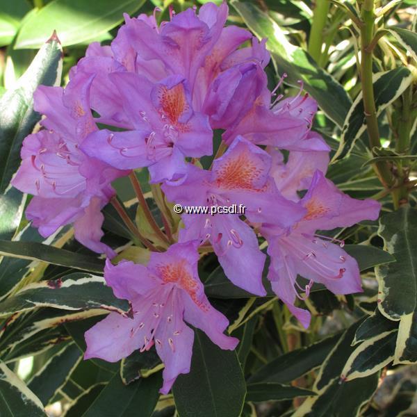 Rhododendron ponticum \'Variegatum\' C5L 60/80