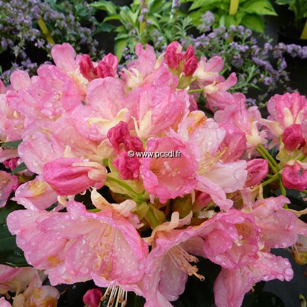 Rhododendron x yakushimanum \'Percy Wiseman\' C4L 30/40
