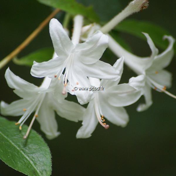 Rhododendron (azalée caduque) viscosum C3L 40/60