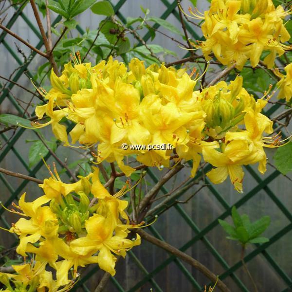 Rhododendron (azalée caduque) luteum C5L 20/30