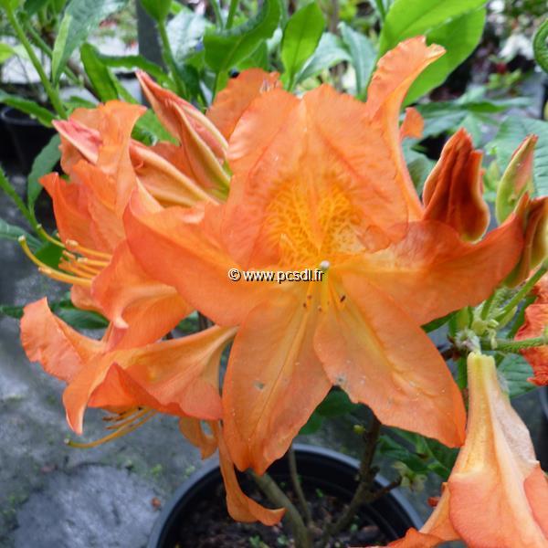 Rhododendron (azalée caduque) \'Saturnus\'