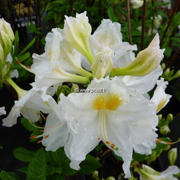 Rhododendron (azalée caduque) \'Persil\' 40/60 C5L