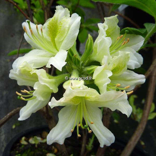 Rhododendron (azalée caduque) \'Daviesii\' C7L 60/80
