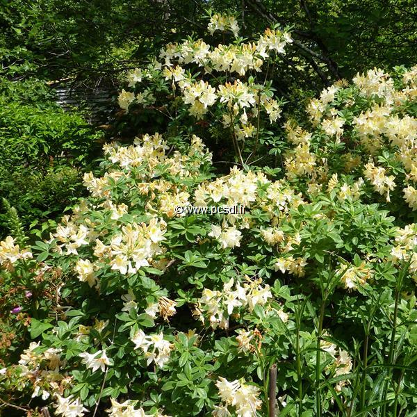 Rhododendron (azalée caduque) \'Daviesii\' C4L 40/60