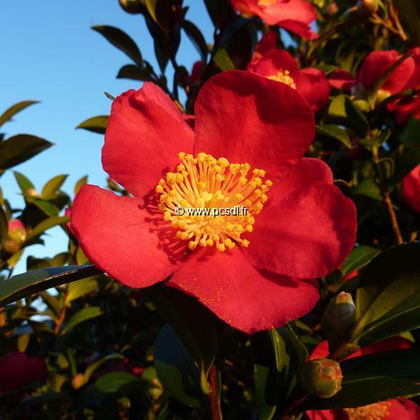 Camellia vernalis Yuletide (1)